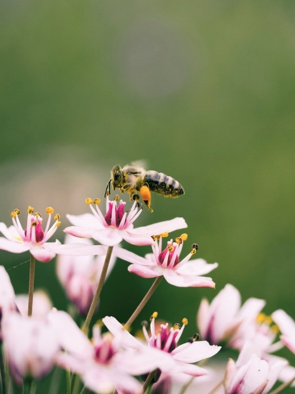 A bee buzzing around pink flowers with yellow pollen